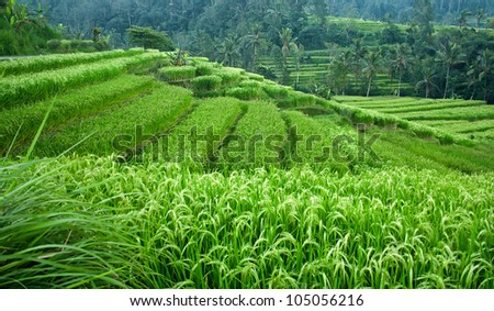 Beautiful green rice paddy field. Rice terrace - stock photo