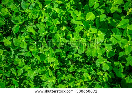 Beautiful green spring clover closeup. Saint Patrick's Day or the Feast of Saint Patrick concept - 17 march - stock photo