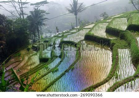 Beautiful green terrace paddy fields on Java, Indonesia - stock photo