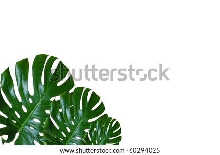Beautiful, Green, Waxy Leaves with Room for Text (Monstera Deliciosa)