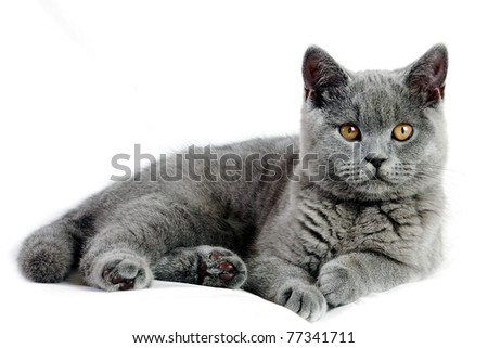 Beautiful grey british cat isolated on white background