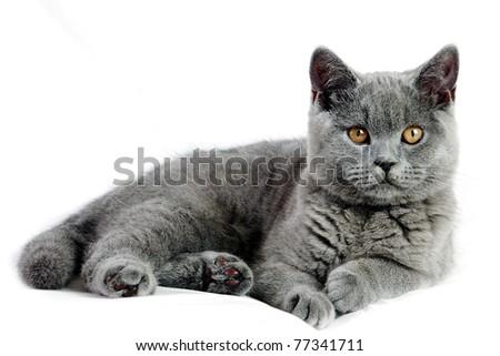Beautiful grey british cat isolated on white background - stock photo