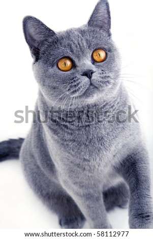 Beautiful grey british cat on light background