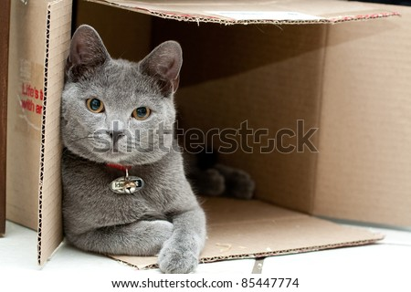 Beautiful grey cat in a box - stock photo