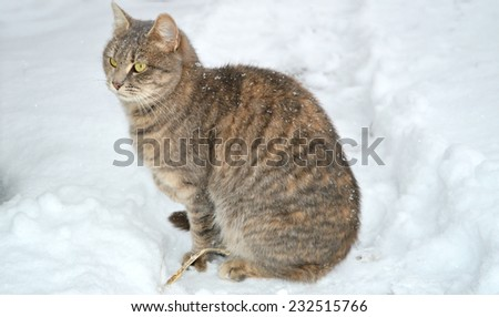 beautiful grey cat on the first snow.winter concept