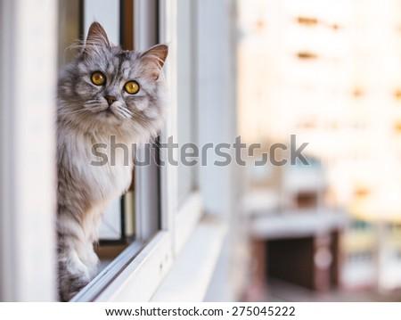Beautiful grey cat sitting on windowsill and looking to a window  - stock photo