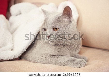 Beautiful grey cat under white plaid on sofa with bright pillows, close up - stock photo