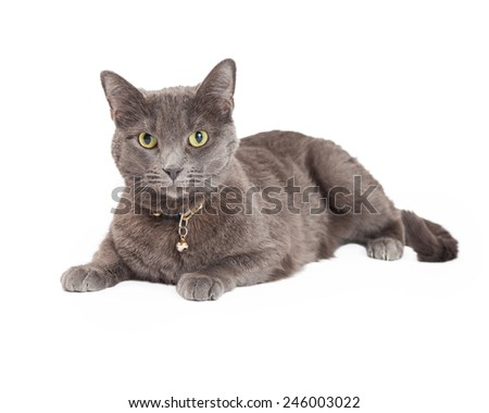 Beautiful Grey Domestic Shorthair Cat laying while looking directly into the camera.  - stock photo