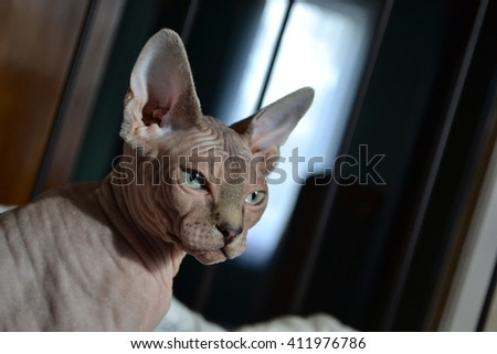 Beautiful grey Sphynx cat