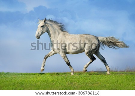 Beautiful grey trotter horse run at the meadow - stock photo