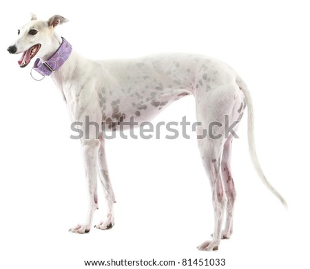 beautiful greyhound dogs rescued through a dog rescue group after they no longer want to race on the track. isolated on white with room for your text - stock photo