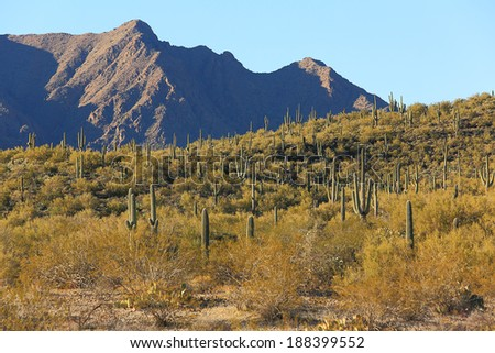 Beautiful grove of sguaro desert cactus and mountains