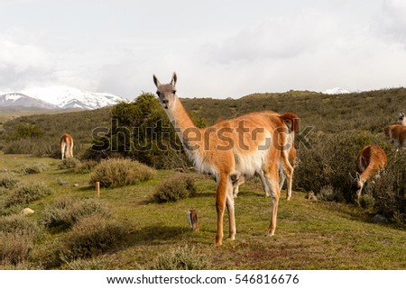 Beautiful guanaco in Patagonia, Chile