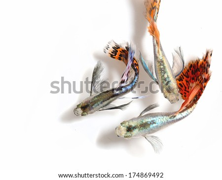 Beautiful Guppy Fish Isolated on white - stock photo