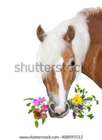 Beautiful Haflinger Horse eating herbs for natural Diet, to stay healthy or for treatment of disease. - stock photo