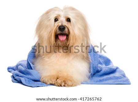 Beautiful happy reddish havanese dog after bath is lying wrapped in a blue towel and looking at camera, isolated on white background - stock photo