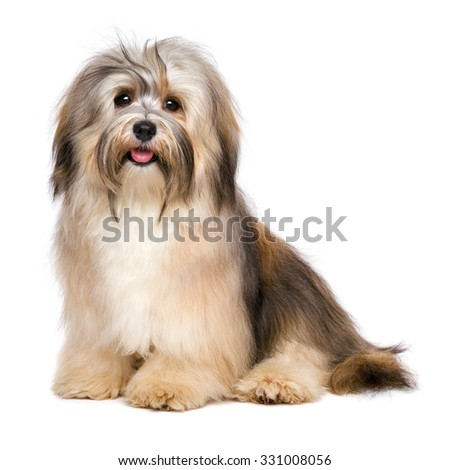 Beautiful happy young Bichon Havanese dog is sitting and looking at camera - isolated on white background - stock photo