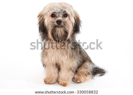 Beautiful Havanese dog isolated on white - stock photo