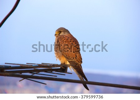 Beautiful hawk. Beautiful falcon. Wonderful hawk. Wonderful falcon. Sitting falcon. Young falcon. Wild bird.  Raptorial bird which is resting in the evening. - stock photo