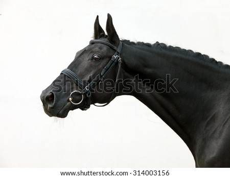 Beautiful head shot of a thoroughbred racehorse