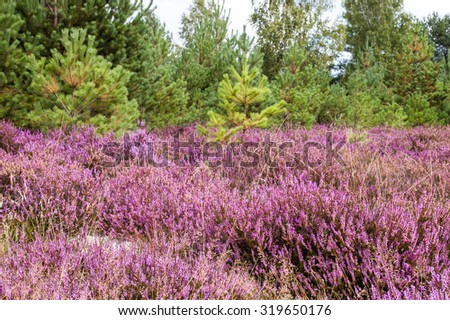 Beautiful heather with pine forest in the background.