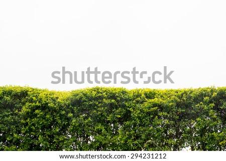 Beautiful hedge fence isolated on white background. - stock photo