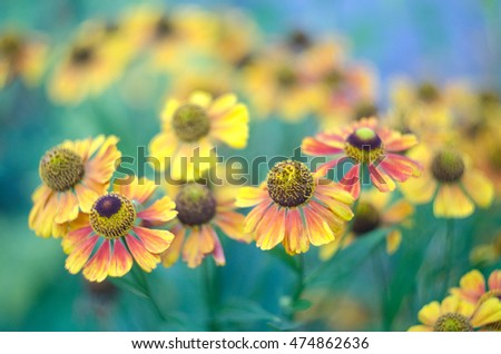 Beautiful Helenium flowers growing in the summer garden. Close up of orange Helenium autumnale flowers with blurred background.
