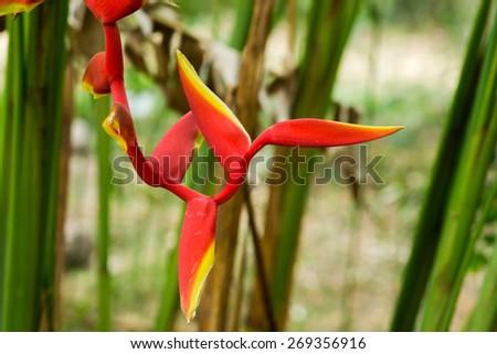 Beautiful Heliconia (H. rostrata Ruiz & Pavon) blooming - stock photo