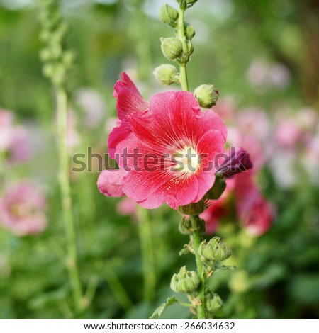 beautiful hollyhock flower or althaea flower in garden - stock photo