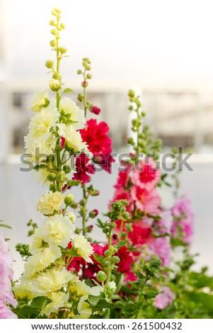 Beautiful hollyhock spring celebrity flower in garden - stock photo