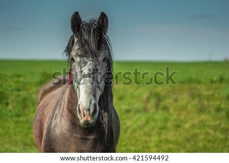 Beautiful horse brown color with a gray muzzle on the field with green grass