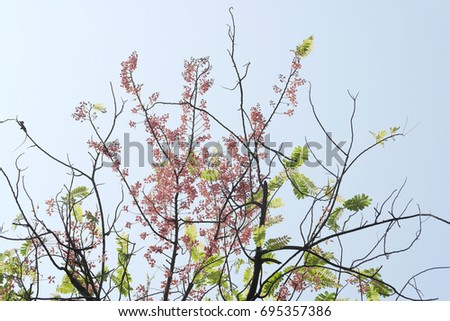 Cassia Stock Images RoyaltyFree Images Vectors Shutterstock