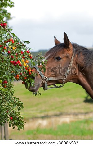 Beautiful horse is eating cherry plums - stock photo
