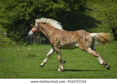 Beautiful horse running on the green grass pasture