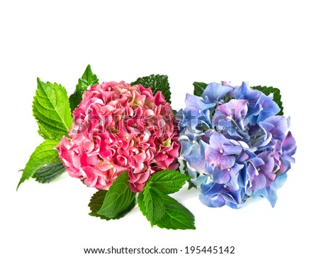 beautiful hortensia flowers isolated on white background. pink and blue hydrangea blossoms - stock photo