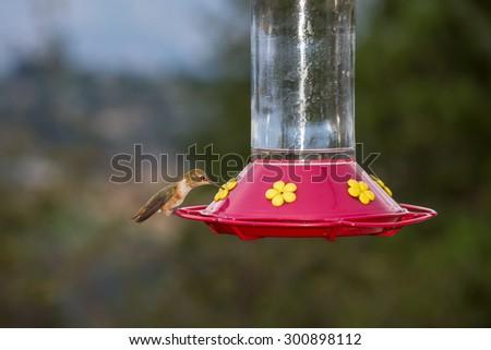 Beautiful humming bird resting & feeding from a garden feeder - stock photo