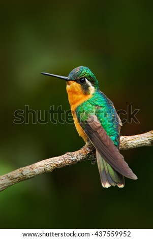 Beautiful hummingbird. Orange and green small bird from mountain cloud forest in Costa Rica. Purple-throated Mountain-gem, Lampornis calolaema, hummingbird from Costa Rica. Hummingbird in the forest. - stock photo