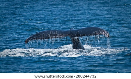 Beautiful humpback whales in the coast of Ecuador, breeding season - stock photo