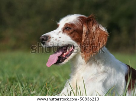 Beautiful hunting dog resting in the field - stock photo