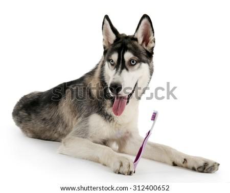 Beautiful huskies dog with toothbrush isolated on white - stock photo