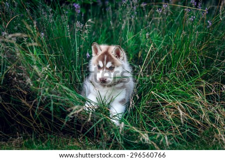 beautiful husky puppy on the meadow - stock photo