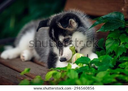 beautiful husky puppy on the meadow - stock photo