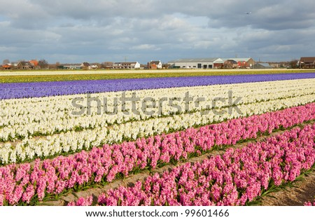 Beautiful hyacinth fields in Holland and plane in the sky - stock photo