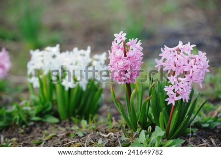 Beautiful hyacinth in spring - stock photo