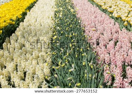 Beautiful hyacinths in Keukenhof Gardens, Netherlands - stock photo