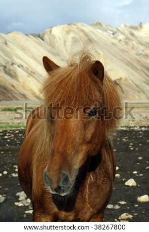 Beautiful Icelandic horse in Landmannalaugar region in the southwest of the country - stock photo