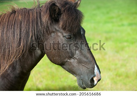 Beautiful Icelandic horse standing in a meadow on a dull summer day - stock photo