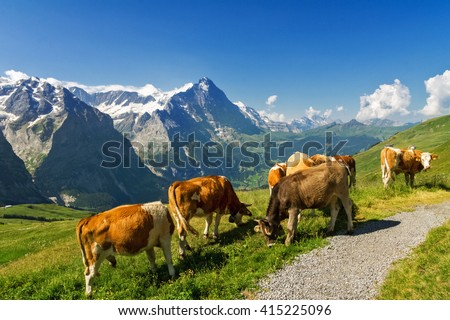 Beautiful idyllic alpine landscape with cows, Alps mountains  and countryside in summer, Switzerland  - stock photo