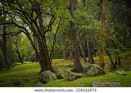 Beautiful image in green tones - scenic view with gigantic tree trunks and grass glade in tropical forest of Botanical Garden Hakgala, Sri Lanka island, South Asia - stock photo