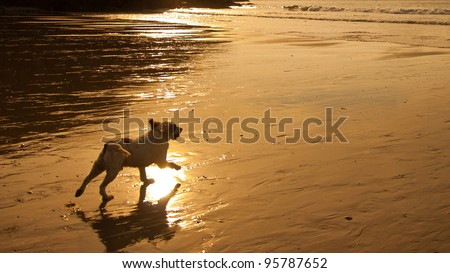Beautiful image of dog running towards the sea at sunset with golden background and empty space for your text - stock photo